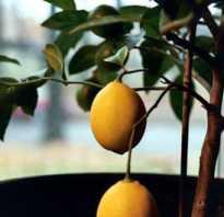 Цитрусовые комнатные растения: виды, особенности выращивания и ухода