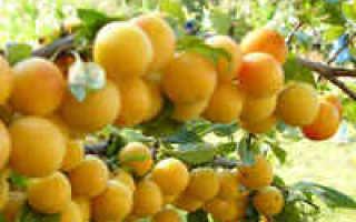 Варенье из желтой сливы — рецепты с яблоком, апельсином, лимоном, орехами, пятиминутка